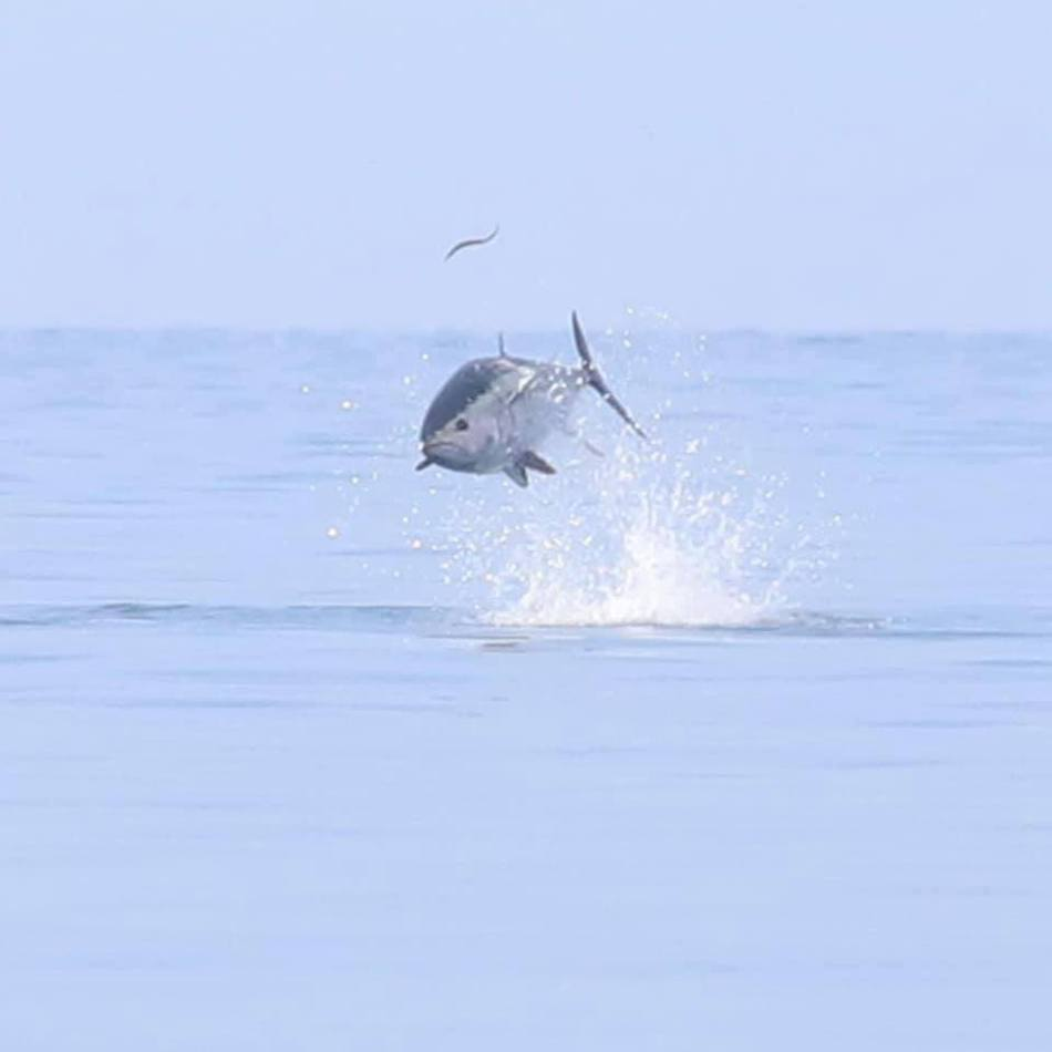 a giant bluefin tuna jumping out of the water hunting a baitfish