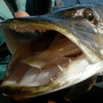 Northern Pike Teeth (Lots of Facts And Pictures)