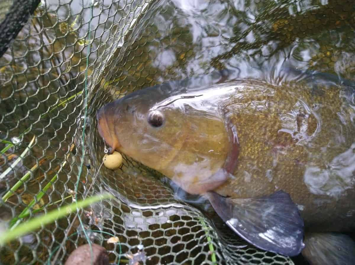 Boilies for Tench (Best Flavours and Sizes)