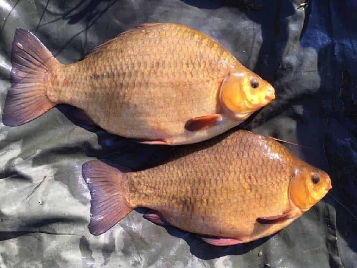 What Is The Maximum Age of Crucian Carp