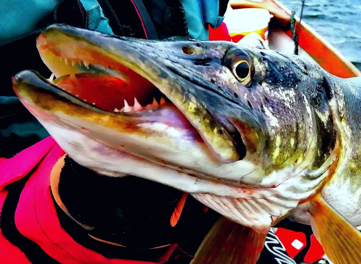 a predator angler on a boat holding a big pike that he has caught on a spinner bait