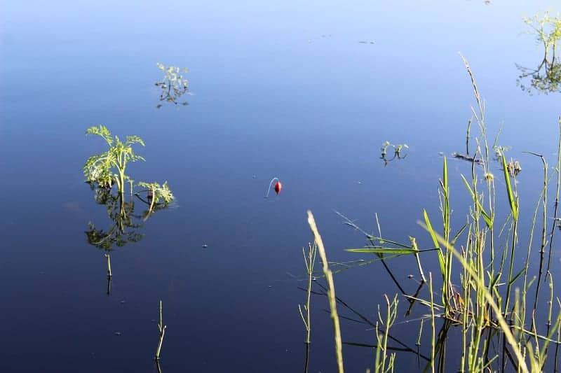 a slip bobber with a 3-hole bobber stop in the water between reeds and vegetation.