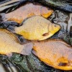 Crucian Carp (Facts and Mysteries About Them)