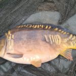 Mirror Carp (Complete Guide With Facts and Photos)