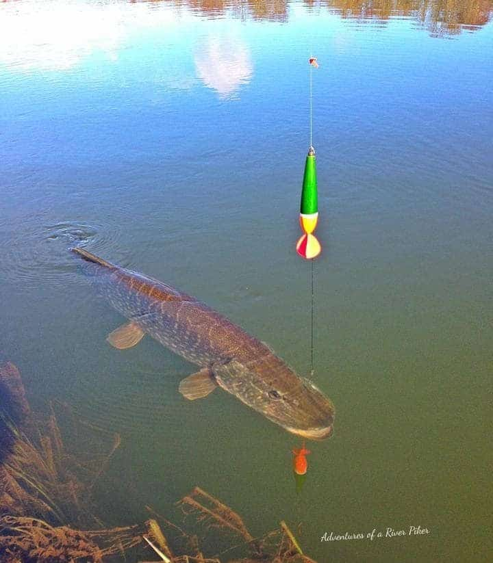 float fishing for northern pike