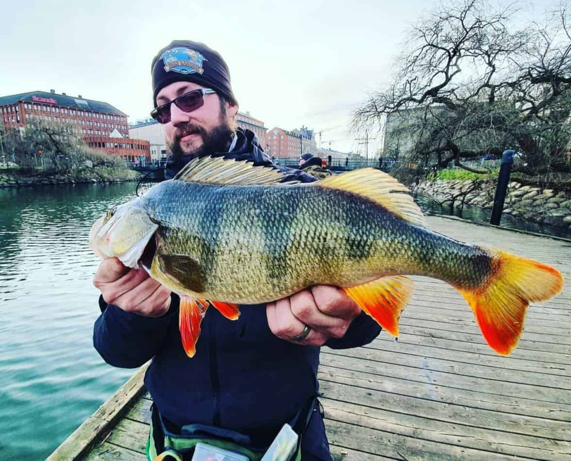 an angler fishing in an urban environment holding a big perch that he has caught on a spinnerbait