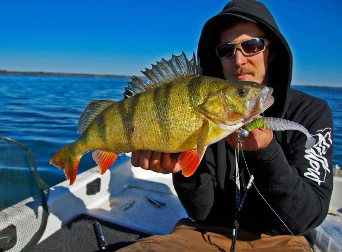 a fisherman on a boat with a really big spring perch that he has caught on a softbait