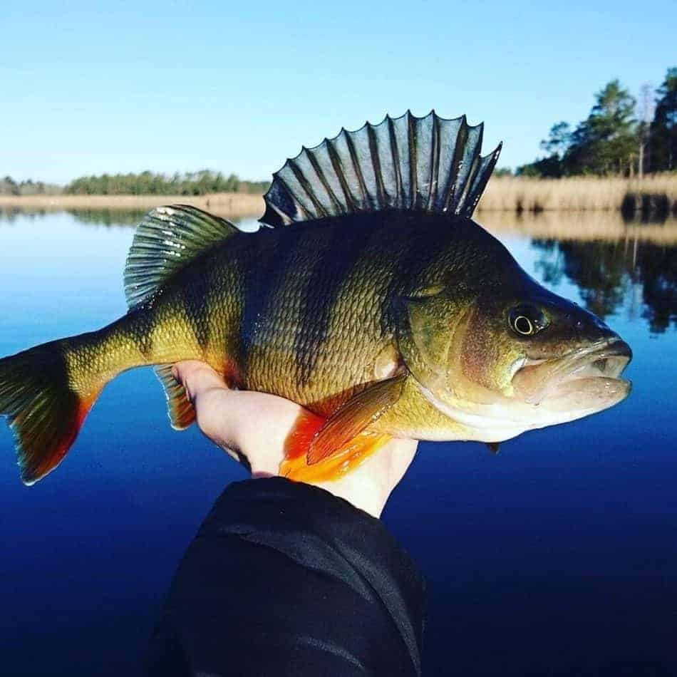a fisherman holding a perch with beautiful colours