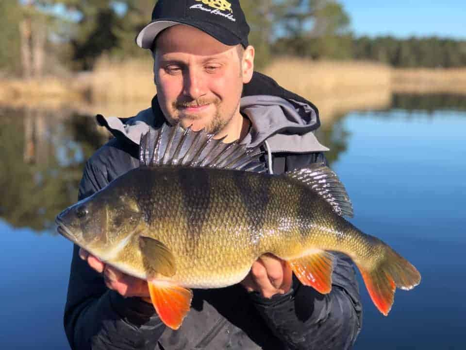 a happy angler holding a gigantic perch that he has caught on a float and live bait rig