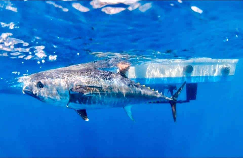 are bluefin tuna being protected