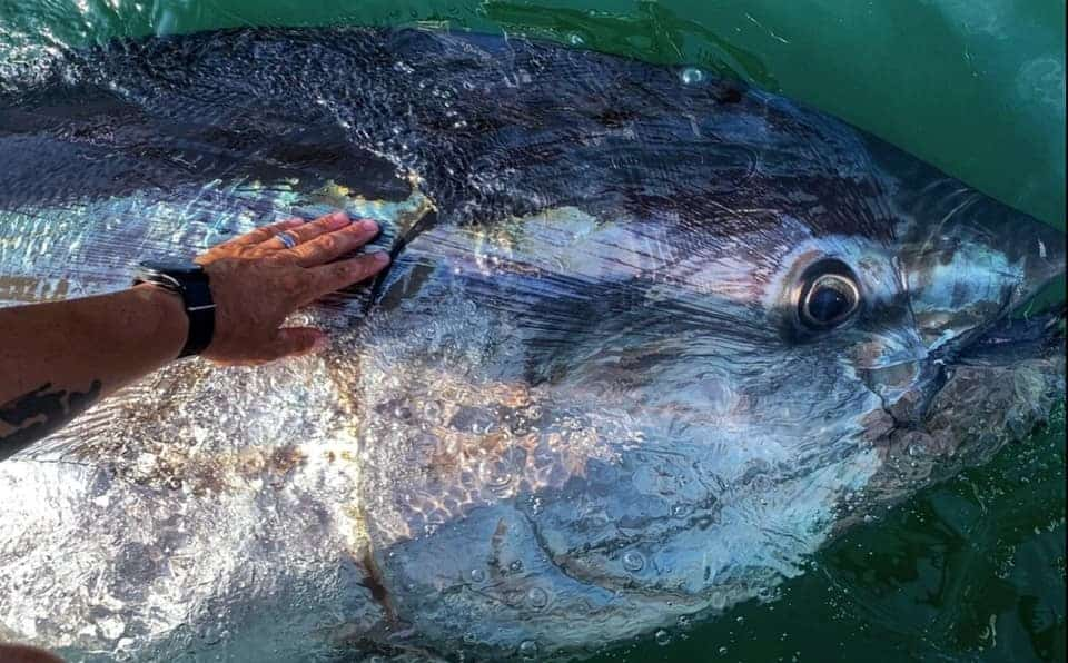 are bluefin tuna endangered