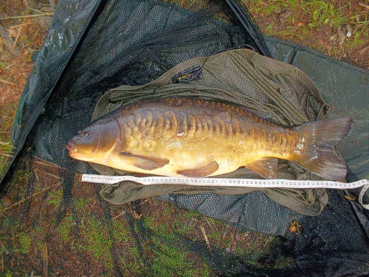 male carp tubercles