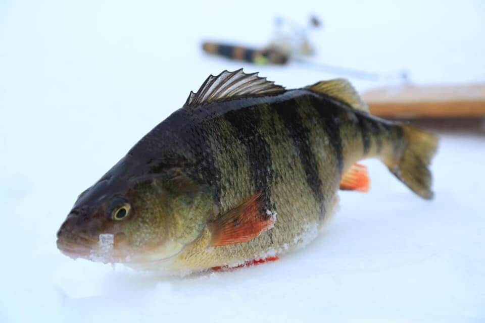 how to fish for perch