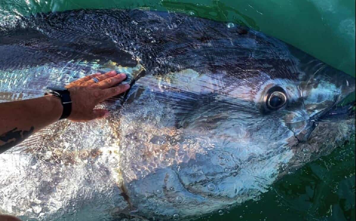 a giant bluefin tuna being released from a fishing boat