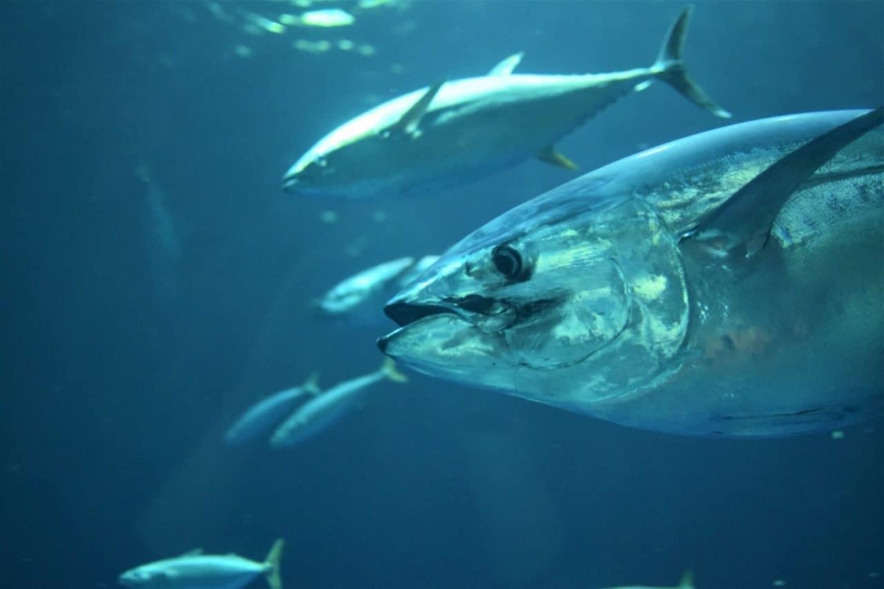 a pack of Atlantic bluefin tuna underwater