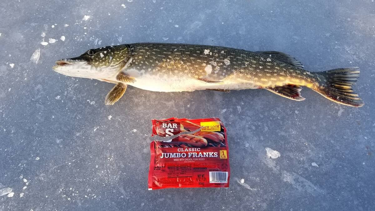 Can You Catch Pike with Hot Dogs?