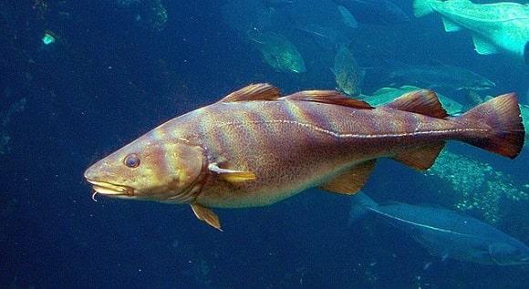 a giant cod underwater