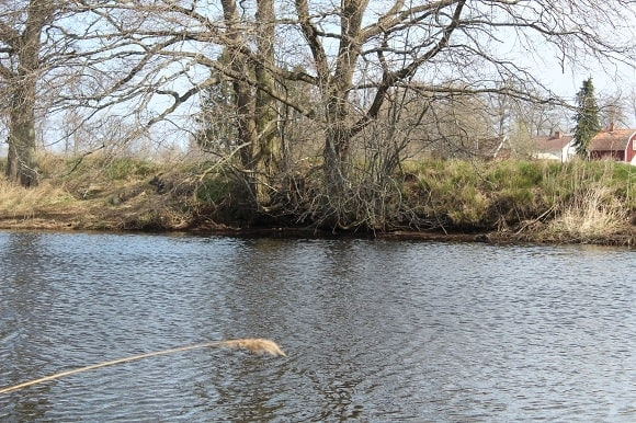 An overhanging tree on a river bank that harbors a pack of hungry perch