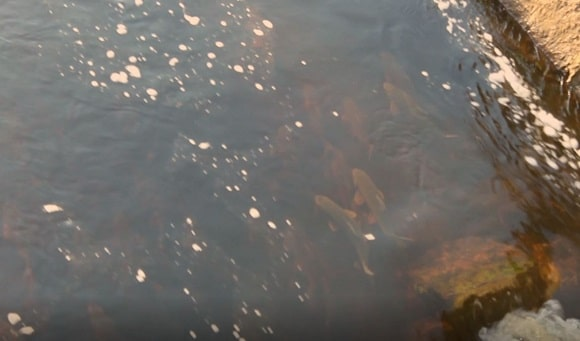 a group of fish getting ready for the spawning in a river