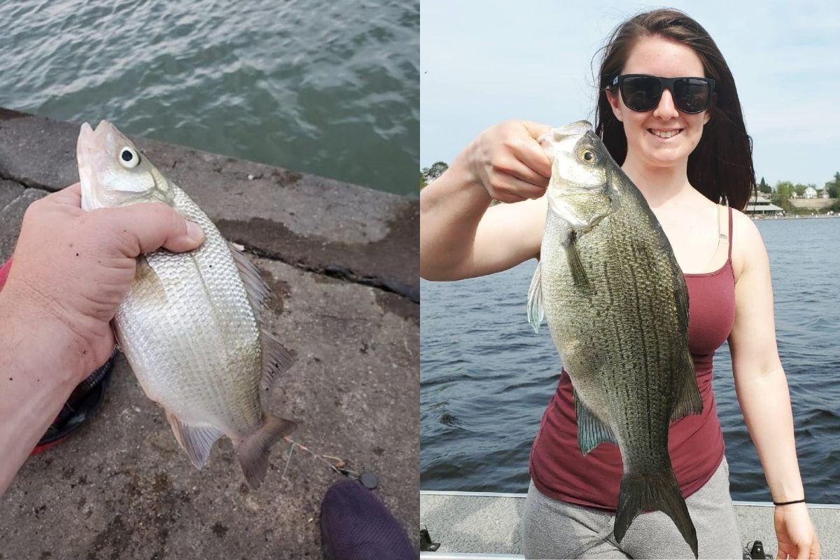 White Bass vs. White Perch (How to Tell Them Apart)
