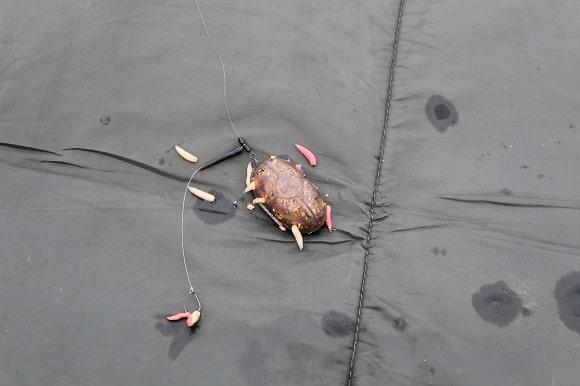 a korum grub feeder filled with maggots on an unhooking mat