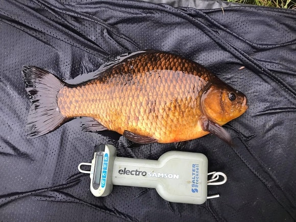 a beautiful crucian carp next to a digital fishing scale on an unhooking mat