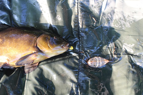 a male tench caught on a method feeder rig with two fake corn