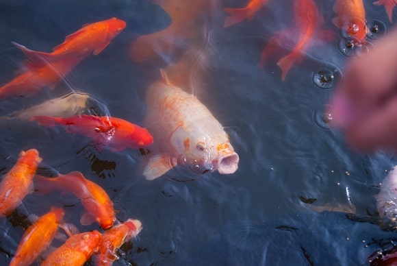 several koi carp in a pond feeding on the surface