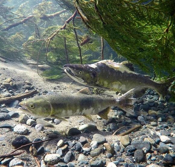 a pair of deteriorating salmon underwater