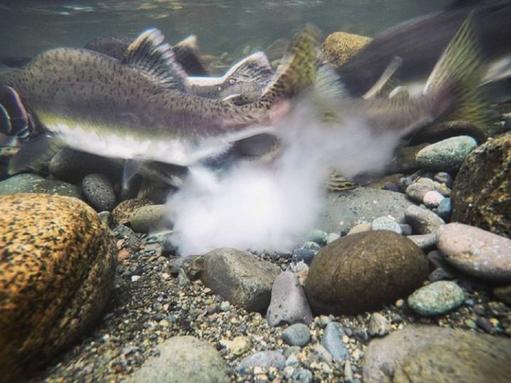 a male pink salmon fertilizing eggs in a river