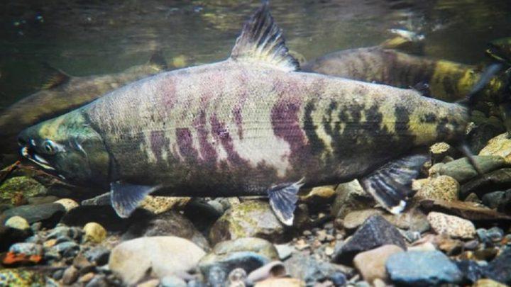 Why Do Salmon Swim Upstream? (Fish Facts Explained)