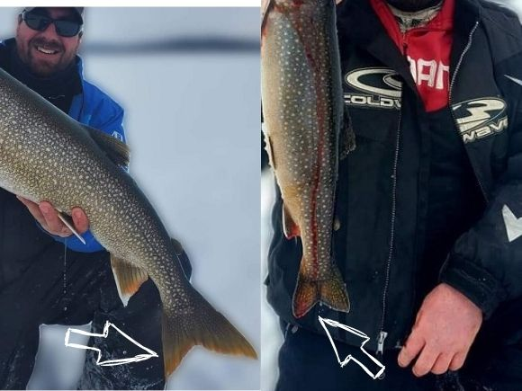 the pointy tail of a lake trout and the more rounded tail of a splake