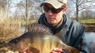 a predator angler on a river bank holding a big perch that he has caught drop-shotting