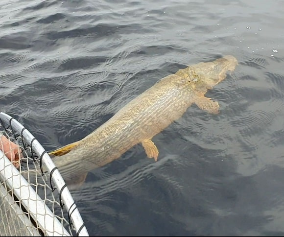 a big northern pike being released back into the water from a fishing boat