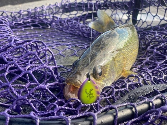 a small walleye caught on a spinner rig lying on a fishing net