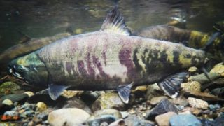 an underwater image of a big salmon in a river