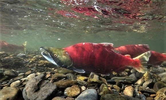 an underwater image of a bright red sockeye salmon in a river
