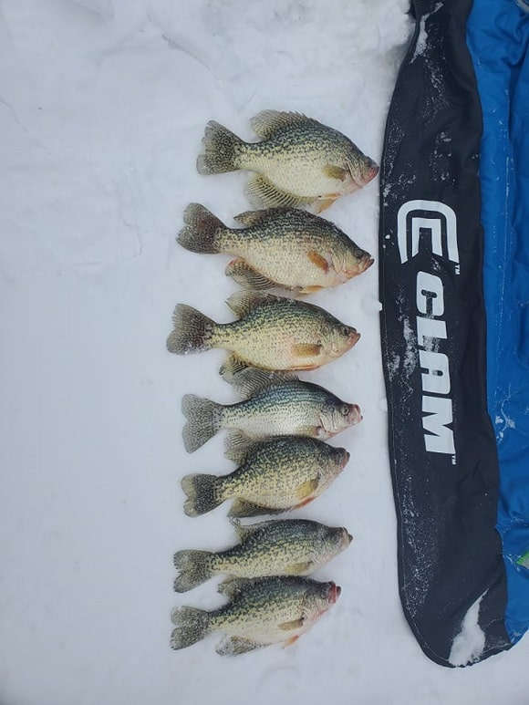 a bunch of crappie from an ice fishing trip on lake of the woods