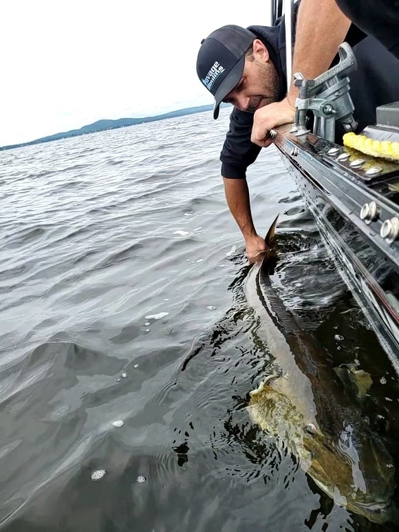 a predator angler on a boat releasing a huge musky back into clear water